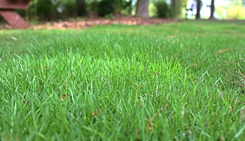 Geo Zoysia Grass Close Up